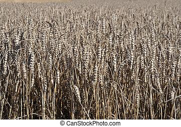 spikes of ripe corn #2