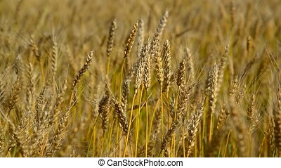 Spikes of ripe wheat close-up. Russia - Spikes of ripe wheat...