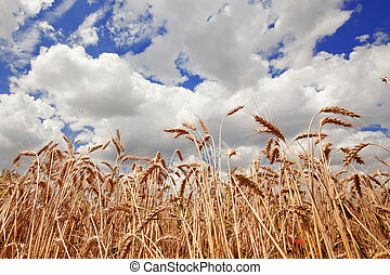 Mown Field Of Wheat And Amazing Blue Sky With White Clouds