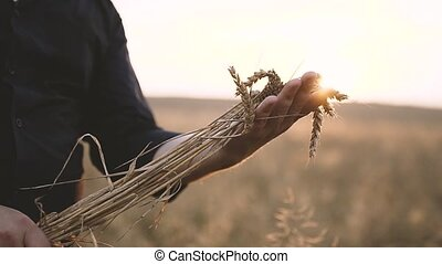 Spikes of Wheat in the Hands of a Man