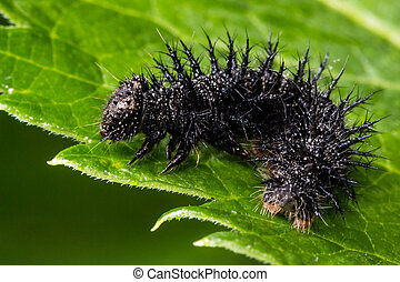 Spiky Black Caterpillar on Green Le