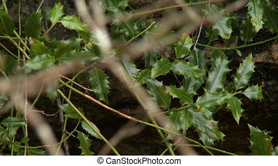A thicket of spiky holly leaves seen behind a tangled web of twigs