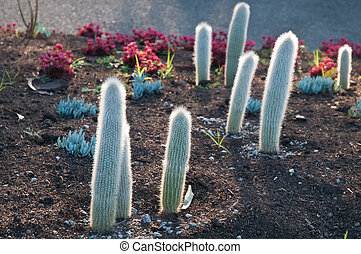 Spiky little cactus trees in the evening