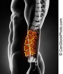 spina, anatomia, laterale, lombare, vista
