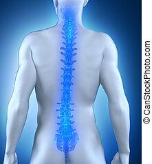 spina, anatomia, posteriore, umano, vista