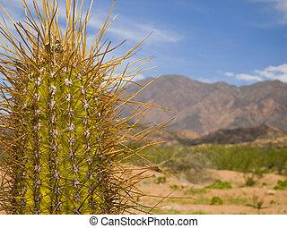 spina, cactus, lungo