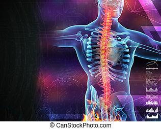 spina dorsale, scheletro, uomo