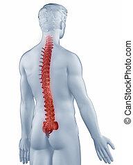 spina, isolato, anatomia, posteriore, posizione, uomo, vista