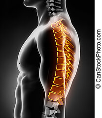 spina, laterale, toracico, anatomia, sinistra, vista