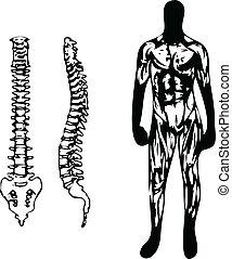 spina