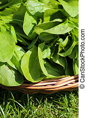 Spinach leaves in basket