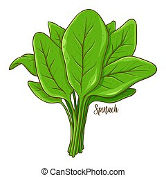 Spinach Vegetable Hand Drawing - Bunch of spinach fresh...