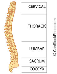 spinal column islolated on a white background