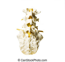 Spinal column - Anatomy model of part of the spinal column...