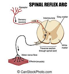 Spinal Reflex Arc, vector illustration (for basic medical education, for clinics & Schools)