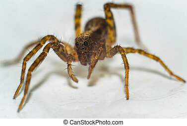 spindel, vita, bakgrund