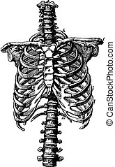 Spine and rib cage rights, vintage engraving. - Spine and...