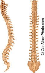 Illustration showing the spinal vertebrae