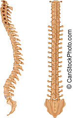 Spine - Illustration showing the spinal vertebrae