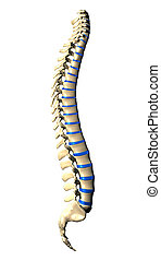 Spine Vertebrae - Side view - Spine Vertebrae - Lateral view...