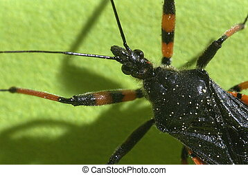 spined assassin bug (Rhinocoris annulatus)