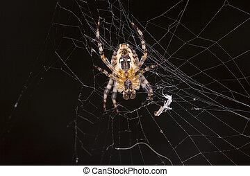 spinnennetz, spinne