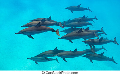 Spinner dolphins scene from above - Spinner dolphins (...