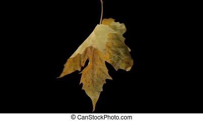 spinning maple leaf over black