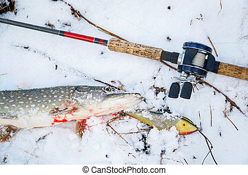 Spinning rod with baitcasting reel, bait and caught a pike lying on snow in the winter