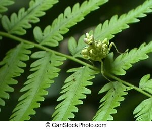 Spiny flower mantis (Pseudocreobotr - On a fern leaf in the...