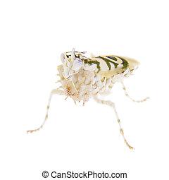 Spiny flower praying mantis, Pseudocreobotra wahlbergii, on ...