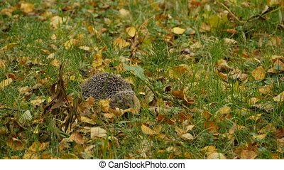 spiny hedgehog lurking hiding in yellow leaves