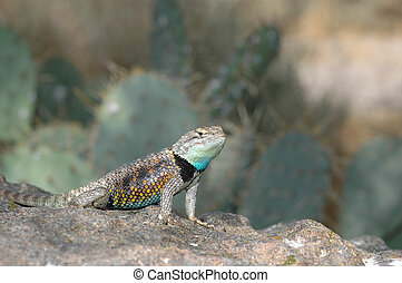 A brightly colored male spiny lizard sits on a rock in a territorial position.