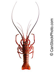 Spiny lobster on a white background.