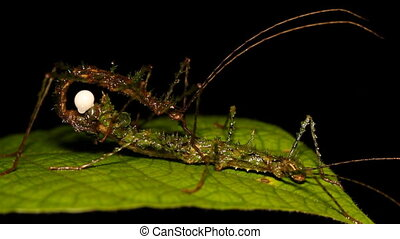 Spiny moss-mimicking stick insect ( - Mating pair with...