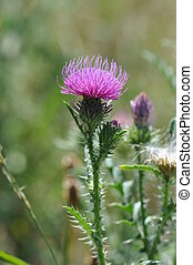 Spiny plumeless thistle or Welted thistle(Carduus...