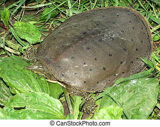 Spiny Softshell Turtle (Apalone spinifera) in central...