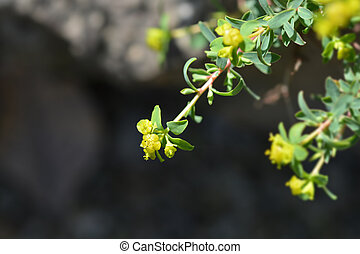 Spiny spurge - Latin name - Euphorbia spinosa