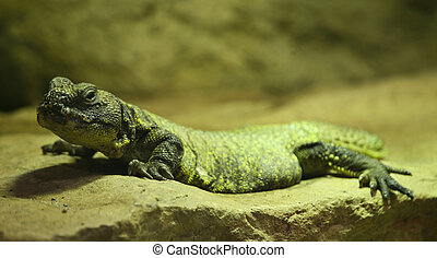 Uromastyx acanthinura is a small agamid from Northeastern Africa
