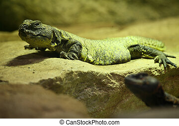 Spiny-tailed Agamid - Uromastyx acanthinura is a small...