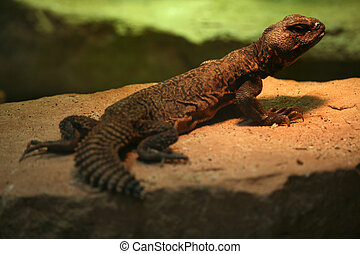 Spiny-tailed Agamid - Uromastyx acanthinura is a small ...
