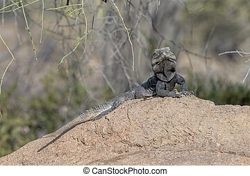 Spiny-tailed Iguana atop a Rock in the Sonoran Desert of Arizona