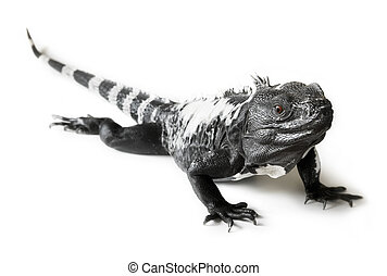 Black and white spiny tailed iguana in a studio setting.