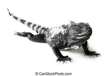 Spiny Tailed Iguana - Black and white spiny tailed iguana in...