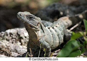A Spiny-tailed Iguana pausing while eating leaves in Cozumel