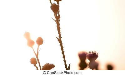 Spiny Thistle Sunset Backlit Silhouette - Spiny thistle...