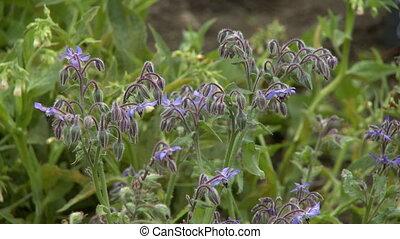 Steady, medium close up shot of spiny unbloomed blue milkweed wildflower.