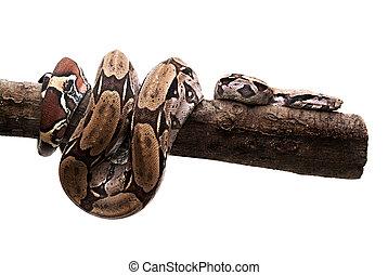 spirálcső, fehér, fa, kígyó, törzs