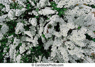 Spiraea alpine (meadowsweet) spring flower, white blossoming shrub. Bush of the tiny white flowers