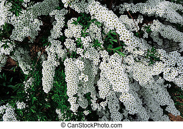 Spiraea alpine spring flower white flowering shrub spiraea alpine meadowsweet spring flower white blossoming shrub mightylinksfo